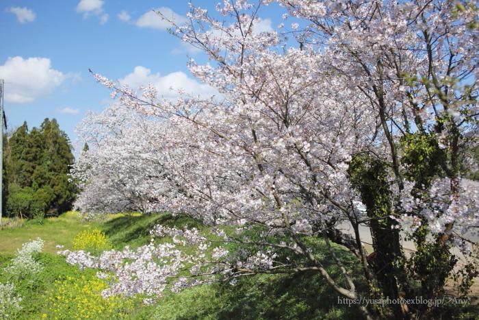 今年の桜_e0347431_23035687.jpg
