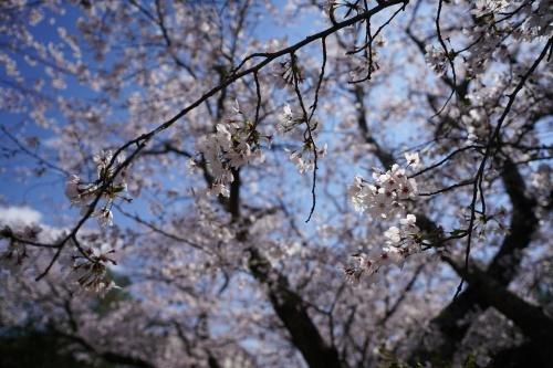 桜。_b0028732_02220652.jpeg