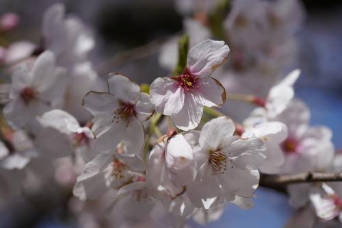 桜。_b0028732_02223768.jpeg