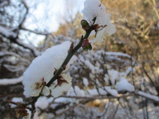 春雪       4月 2日(火)_d0127634_08052261.jpg