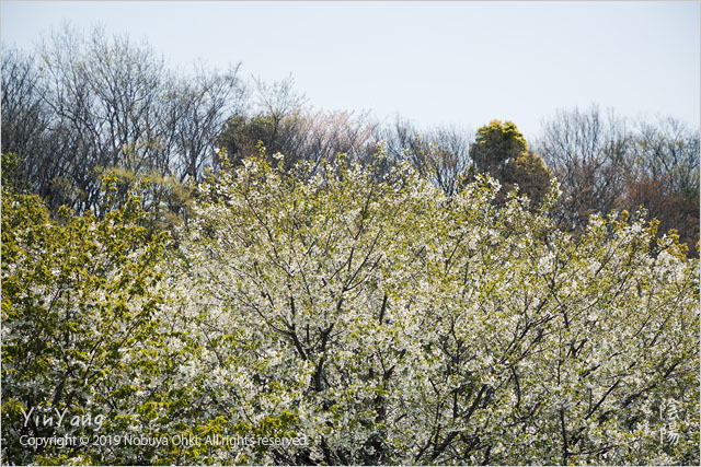 平成最後の桜三景、東京_e0139738_14240795.jpg