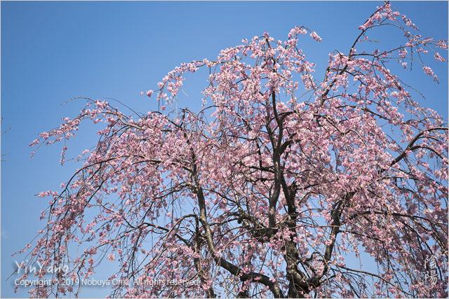 平成最後の桜三景、東京_e0139738_14244630.jpg