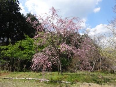 さくら、桜、サクラの散歩♪_c0330749_17443094.jpg