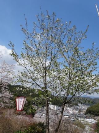 さくら、桜、サクラの散歩♪_c0330749_17444565.jpg