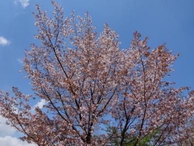 さくら、桜、サクラの散歩♪_c0330749_17451865.jpg