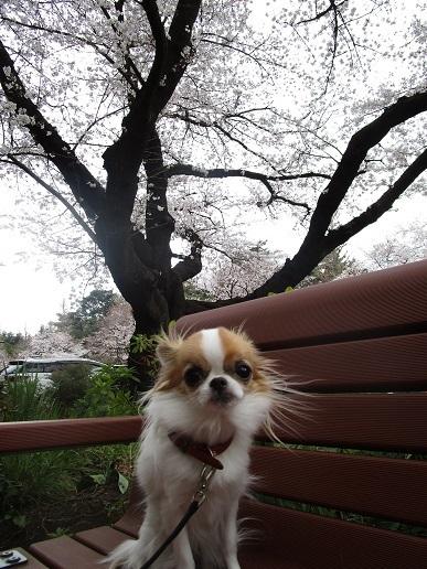 桜満開!_d0006467_14122681.jpg