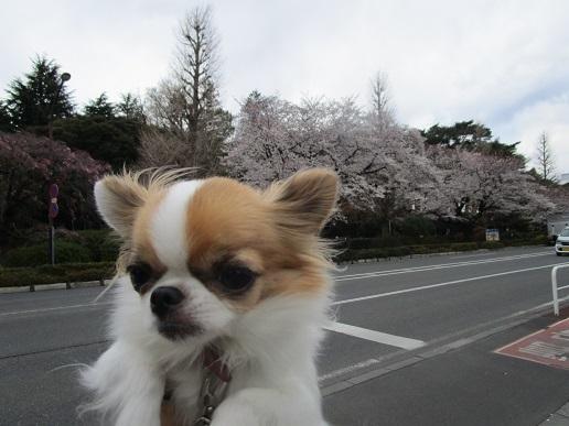 桜満開!_d0006467_14124477.jpg