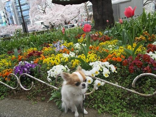 桜満開!_d0006467_14125933.jpg