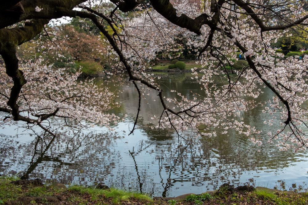 桜_新宿御苑_a0261169_20481669.jpg