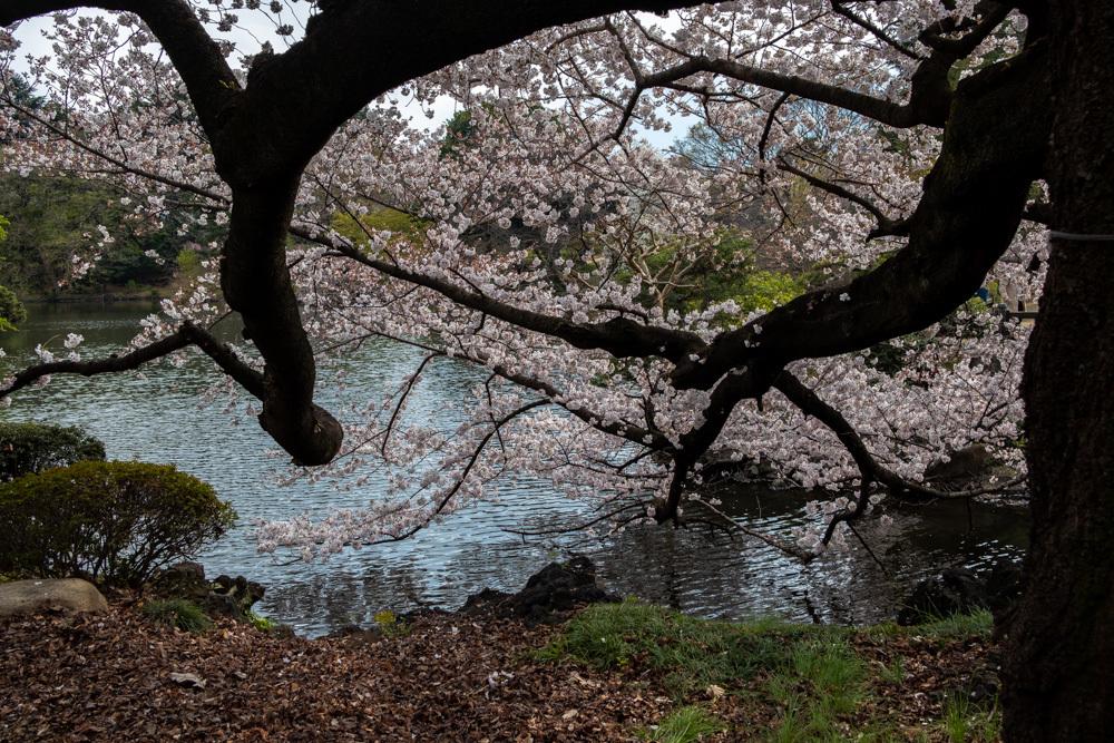 桜_新宿御苑_a0261169_20482957.jpg