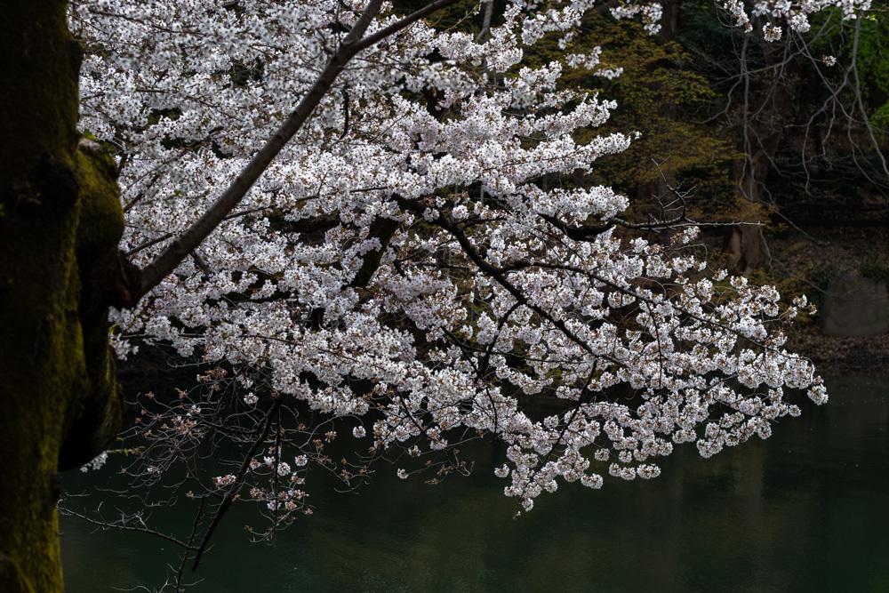 桜_新宿御苑_a0261169_20485809.jpg