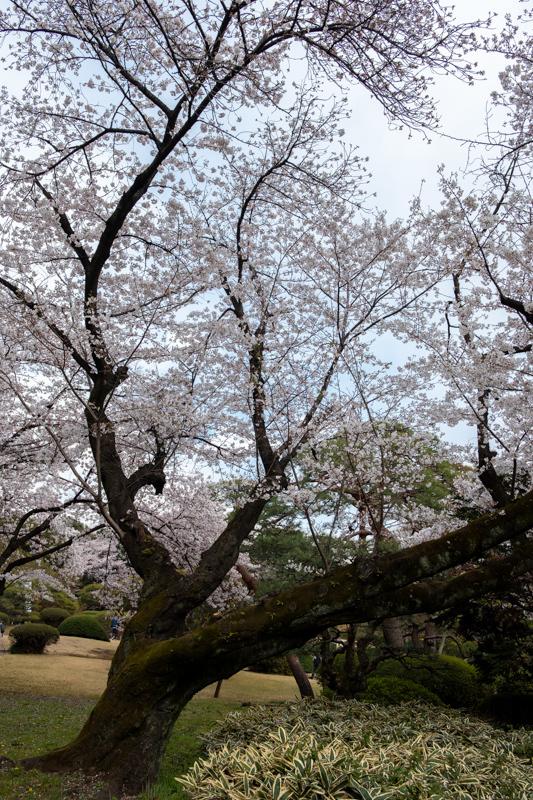 桜_新宿御苑_a0261169_20491302.jpg