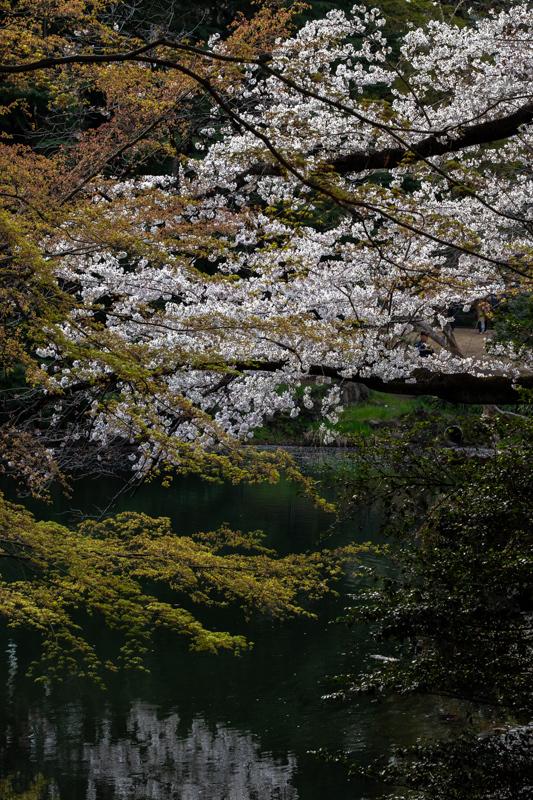 桜_新宿御苑_a0261169_20493528.jpg