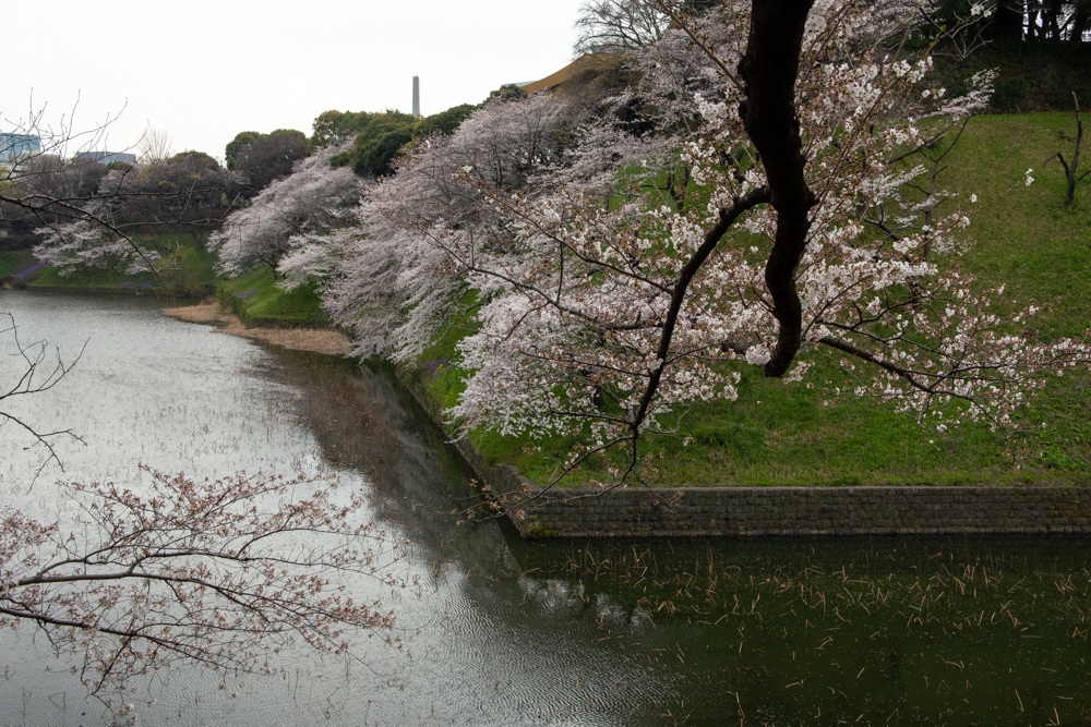 千鳥ヶ淵、靖国神社の桜_a0261169_21384585.jpg