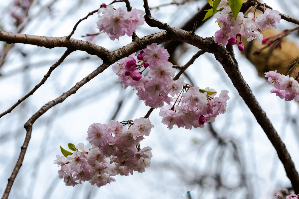 千鳥ヶ淵、靖国神社の桜_a0261169_21530191.jpg