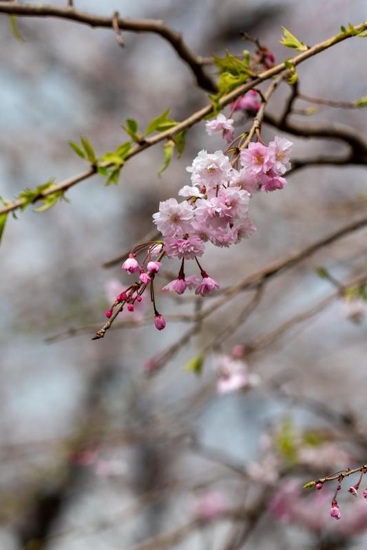 千鳥ヶ淵、靖国神社の桜_a0261169_21531332.jpg