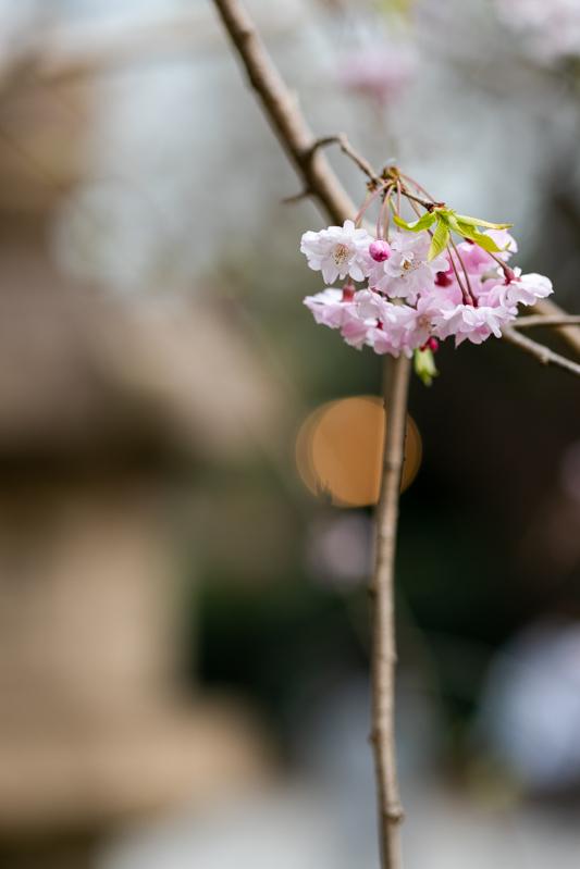 千鳥ヶ淵、靖国神社の桜_a0261169_21532745.jpg