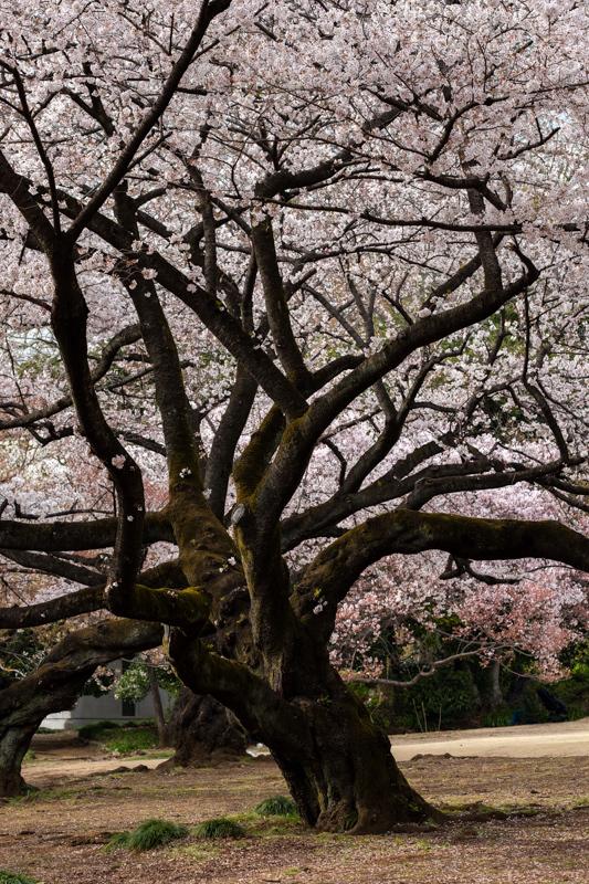 桜_新宿御苑_a0261169_22351671.jpg