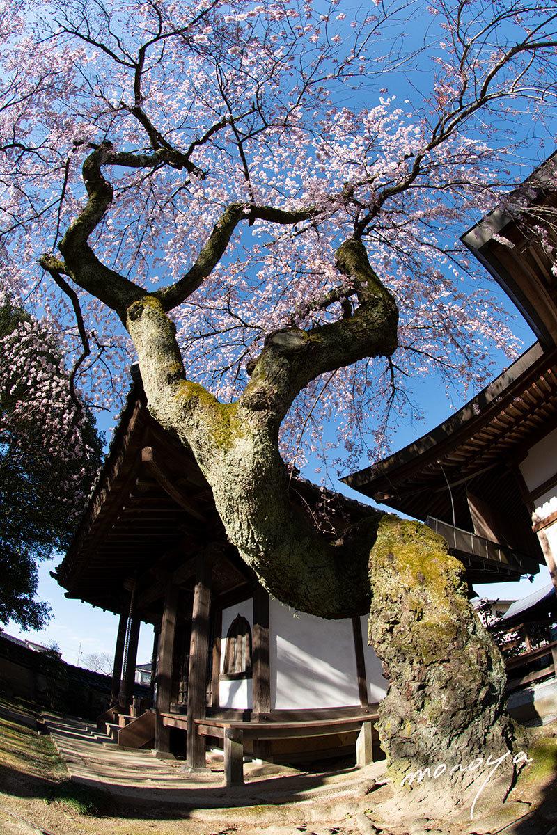 変形枝垂れ桜_c0085877_06203372.jpg