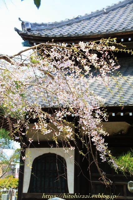 鎌倉 本覚寺の枝垂れ桜_f0374092_15420741.jpg