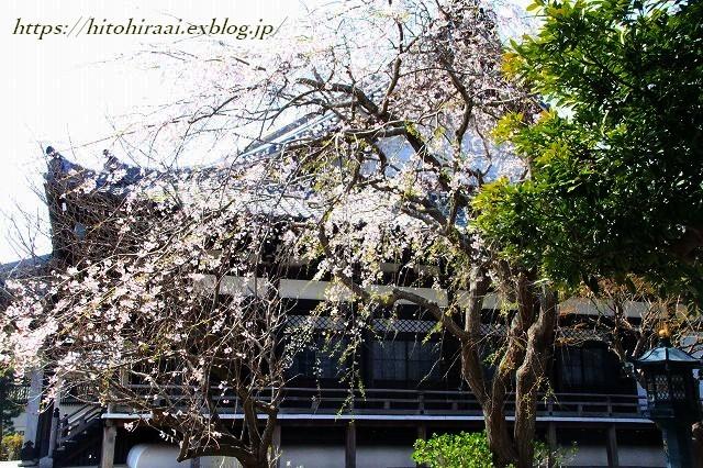 鎌倉 本覚寺の枝垂れ桜_f0374092_15423984.jpg