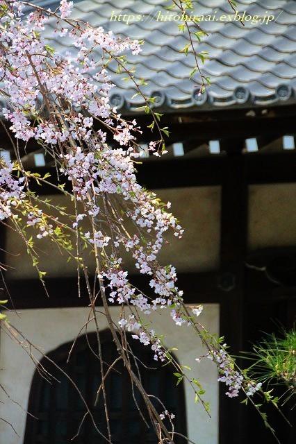 鎌倉 本覚寺の枝垂れ桜_f0374092_15450132.jpg