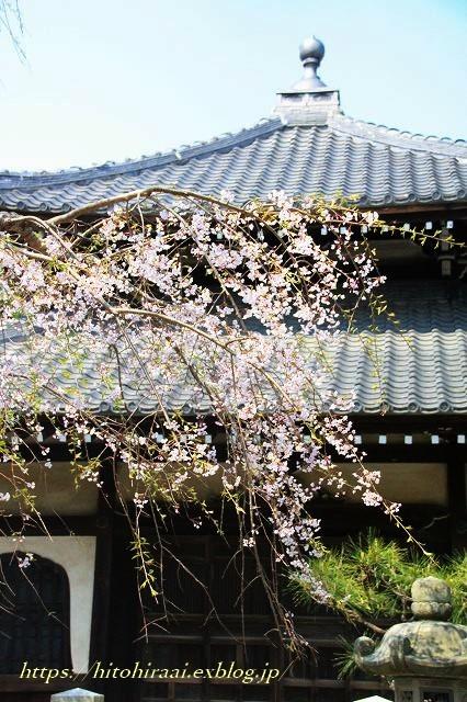 鎌倉 本覚寺の枝垂れ桜_f0374092_15454046.jpg