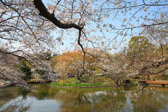 鎌倉 鶴岡八幡宮の桜と牡丹_f0374092_16285651.jpg