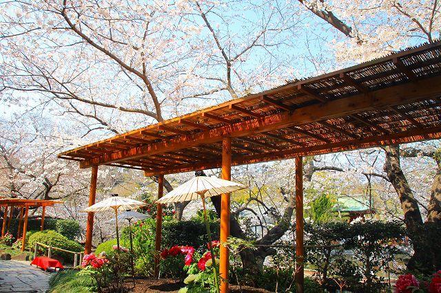 鎌倉 鶴岡八幡宮の桜と牡丹_f0374092_16303602.jpg