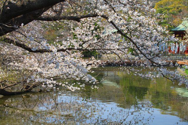 鎌倉 鶴岡八幡宮の桜と牡丹_f0374092_16310490.jpg