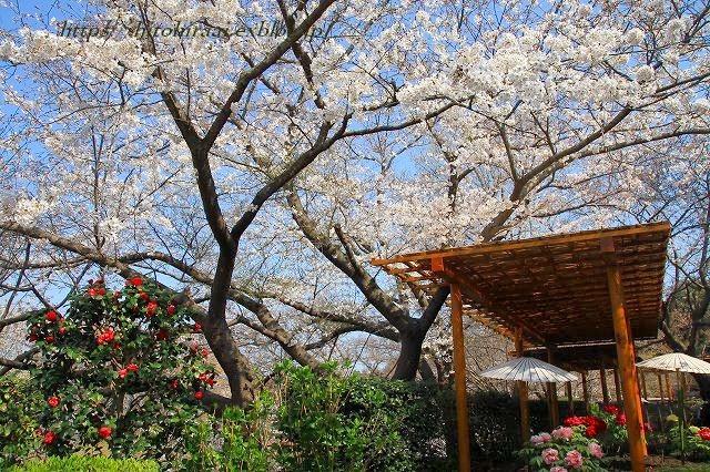 鎌倉 鶴岡八幡宮の桜と牡丹_f0374092_16321308.jpg