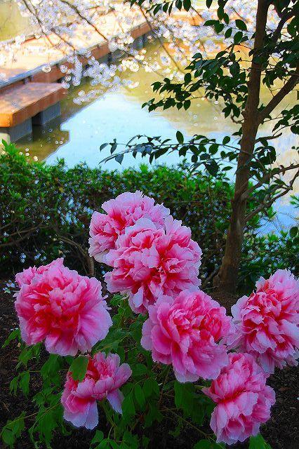鎌倉 鶴岡八幡宮の桜と牡丹_f0374092_16323976.jpg