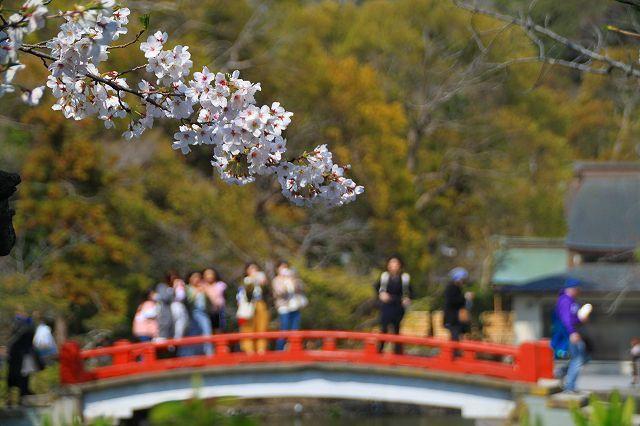 鎌倉 鶴岡八幡宮の桜と牡丹_f0374092_16330065.jpg