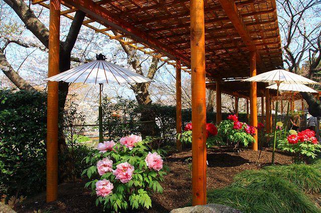 鎌倉 鶴岡八幡宮の桜と牡丹_f0374092_16334794.jpg
