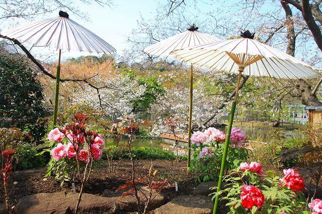 鎌倉 鶴岡八幡宮の桜と牡丹_f0374092_16340496.jpg