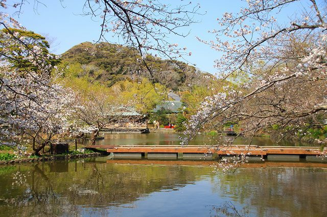 鎌倉 鶴岡八幡宮の桜と牡丹_f0374092_16342856.jpg