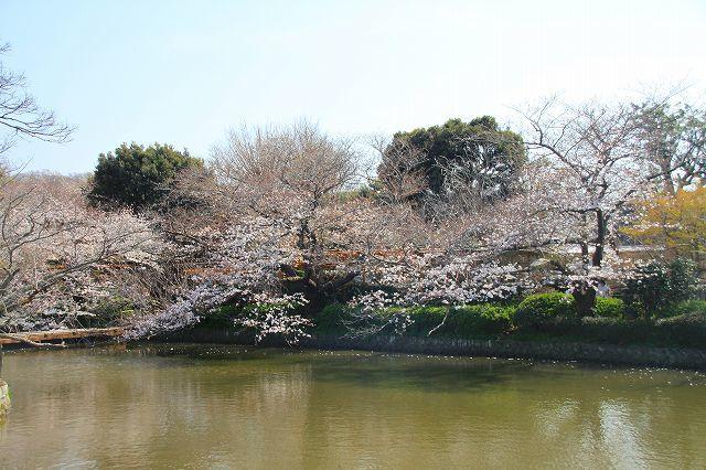 鎌倉 鶴岡八幡宮の桜と牡丹_f0374092_16381882.jpg