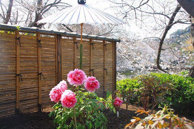 鎌倉 鶴岡八幡宮の桜と牡丹_f0374092_16421205.jpg
