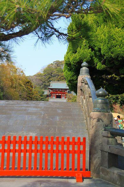 鎌倉 鶴岡八幡宮の桜と牡丹_f0374092_16422528.jpg