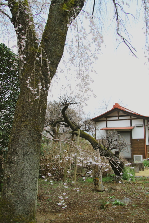荒川沿いの道に桜が咲き始めた - 2019年桜・秩父鉄道 -_b0190710_22270026.jpg
