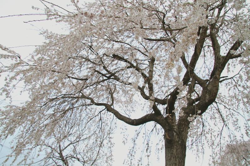 荒川沿いの道に桜が咲き始めた - 2019年桜・秩父鉄道 -_b0190710_22270054.jpg