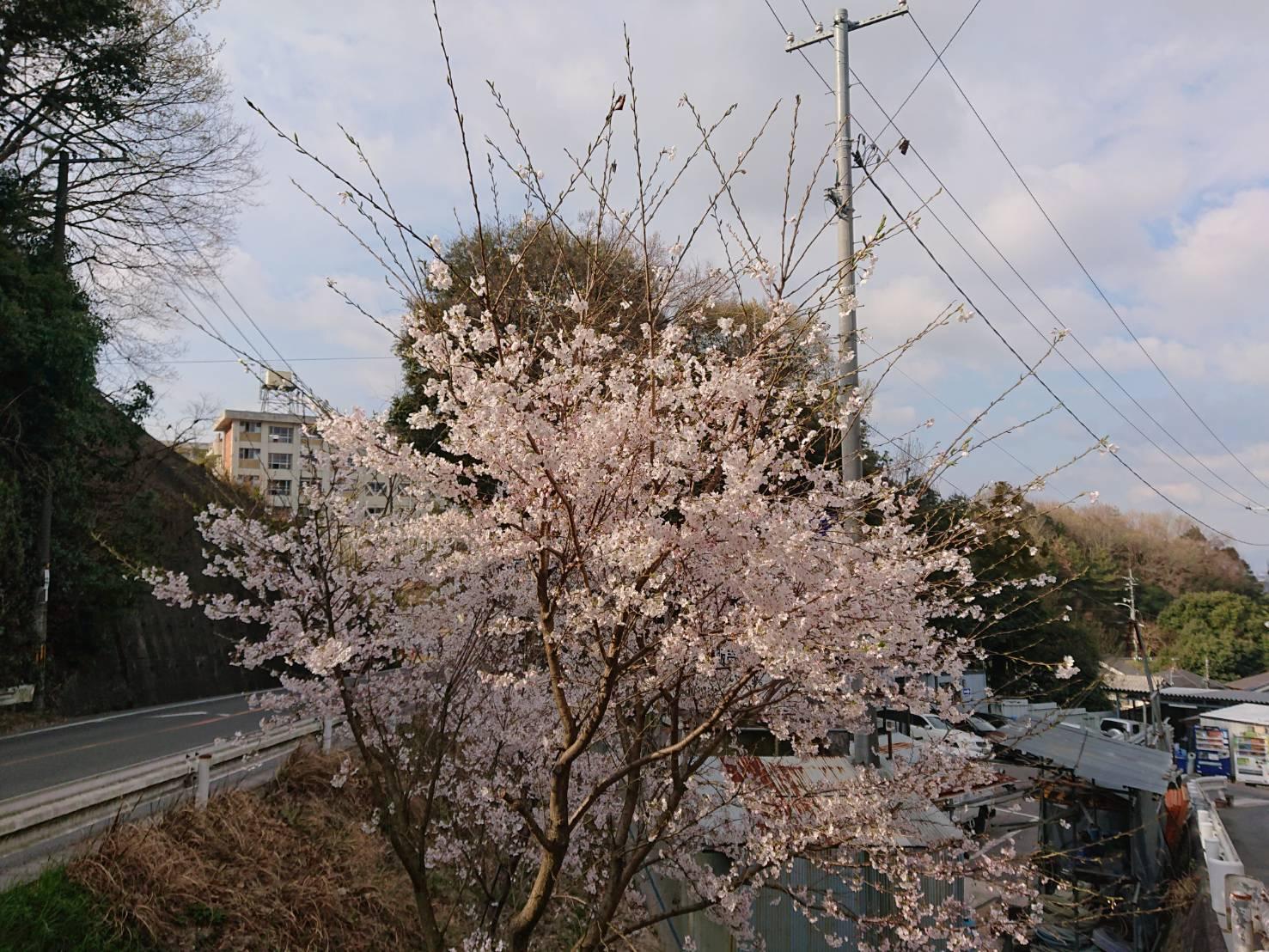 桜咲きました_c0224813_16171072.jpeg