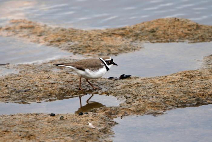 MFの沼でもコチドリ・オジロトウネンを見る事が出来ます_f0239515_1721197.jpg