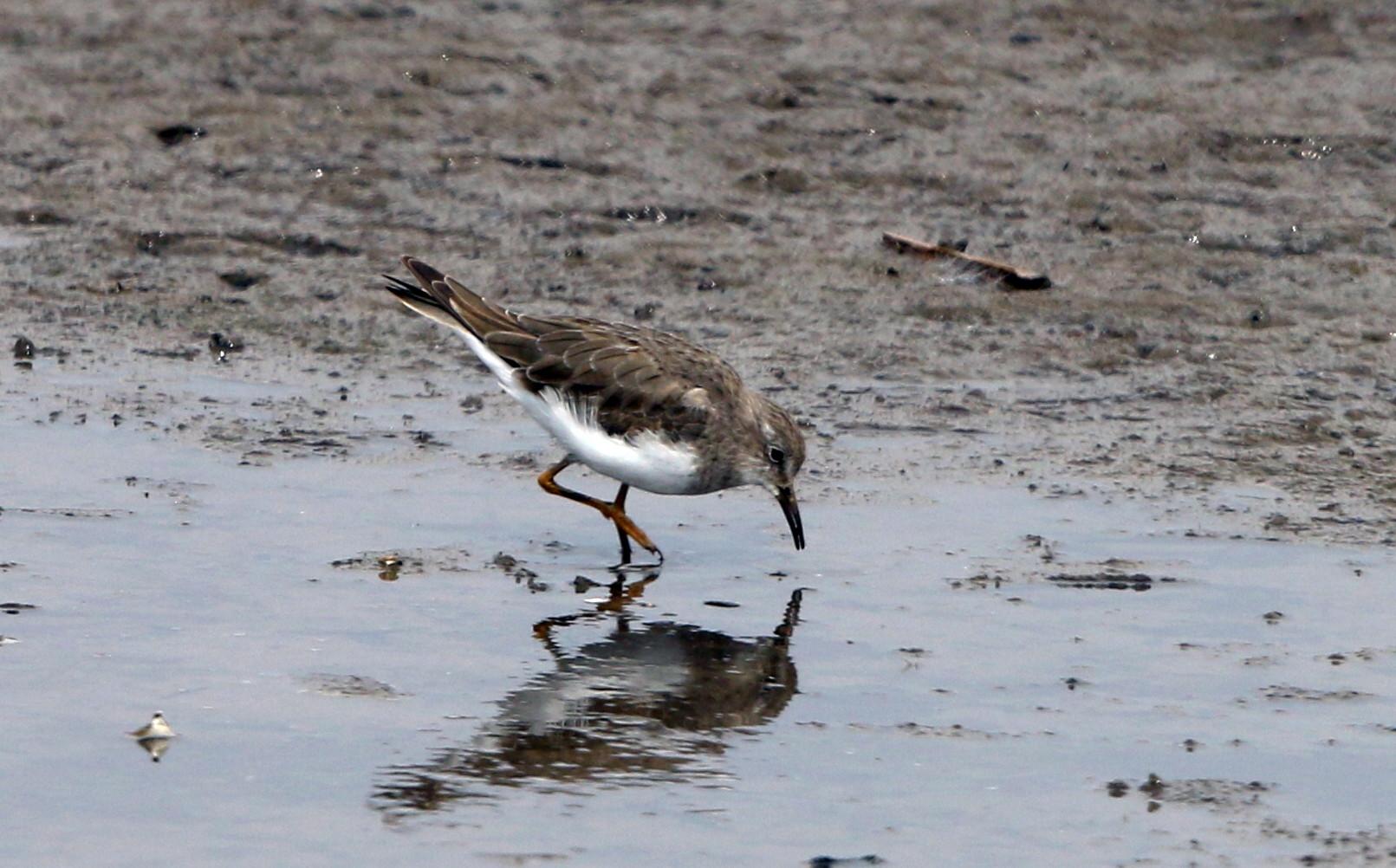 MFの沼でもコチドリ・オジロトウネンを見る事が出来ます_f0239515_183876.jpg