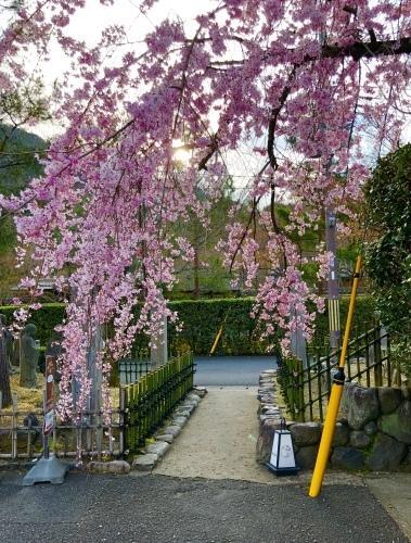 桜フィーバー続く。。。_a0197730_15035301.jpg