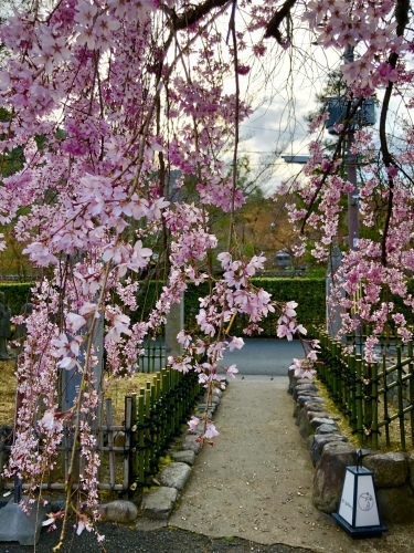 桜フィーバー続く。。。_a0197730_15042096.jpg