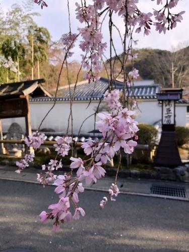桜フィーバー続く。。。_a0197730_15082246.jpg