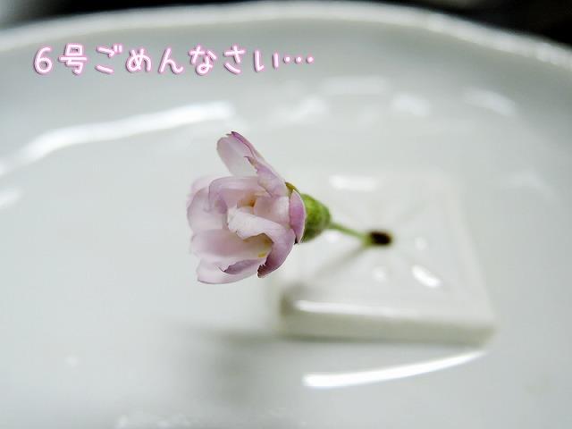 久しぶり黒岡さくら_c0062832_15425862.jpg