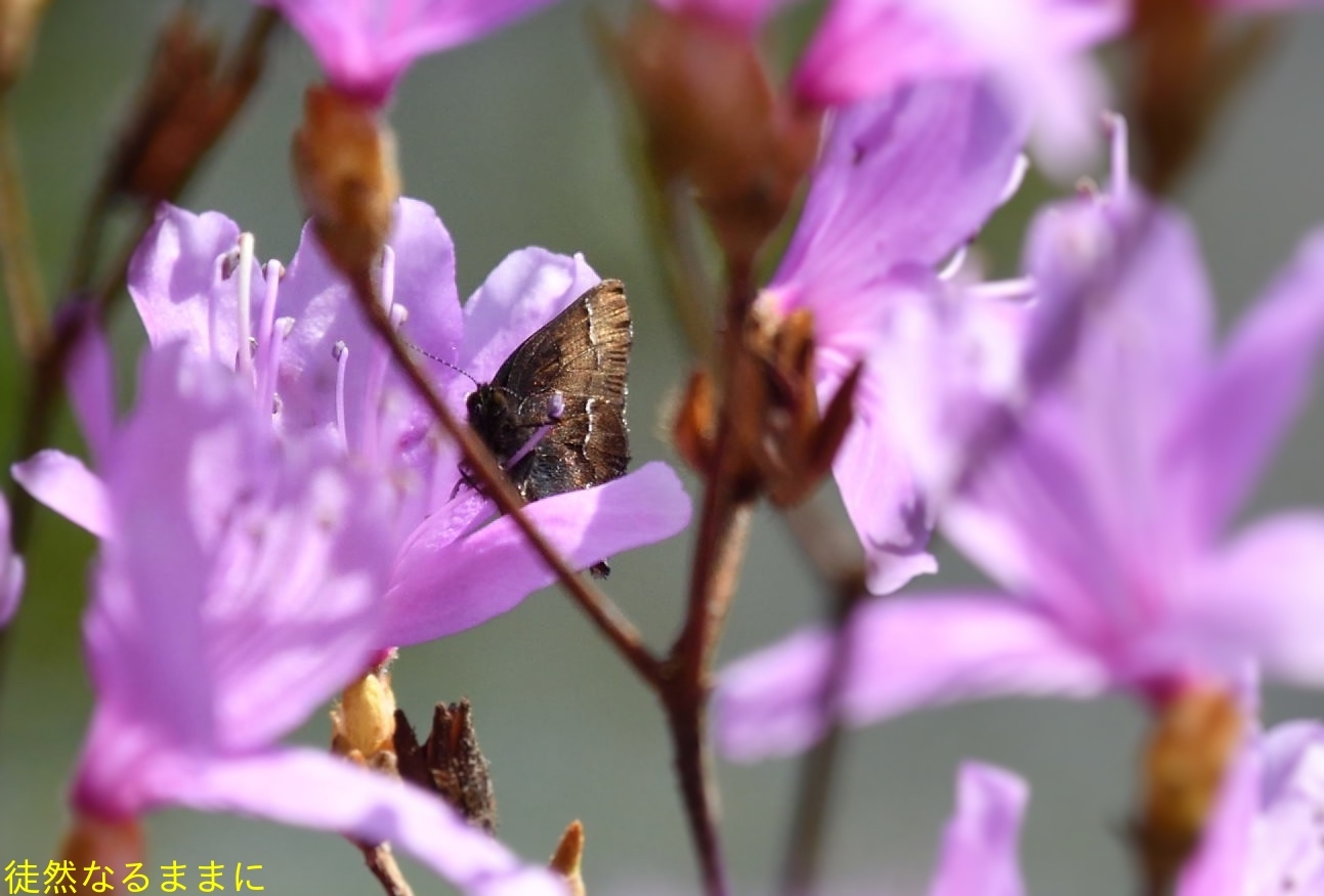 コツバメ   in  K湿地_d0285540_16551358.jpg