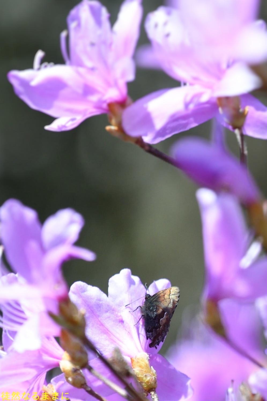 コツバメ   in  K湿地_d0285540_16555749.jpg